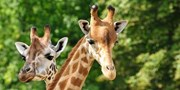 £54pp & up -- West Mids Safari Park Ticket w/Hotel Stay