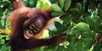 £899pp -- Shangri-La Borneo & KL Holiday w/Orangutans Trip