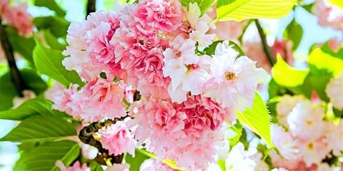 ¥59,800 -- 桜祭り開催バンクーバー5日間 羽田発ANA直行