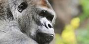 ab 3219 € -- 14 Tage Gorillas und Schimpansen in Uganda