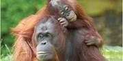 £1599pp -- Borneo & Bali 11-Nt Holiday w/Flts & Orangutans