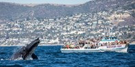 Newport Beach: Gray Whale Watching in Final Migration