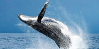 $59 -- Sunshine Coast: Half-Day Whale-Watching Cruise