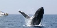 ¥225 -- 冲绳3小时观鲸之旅 赠保险+代金券等 那霸/北谷出发 早订享免费接送