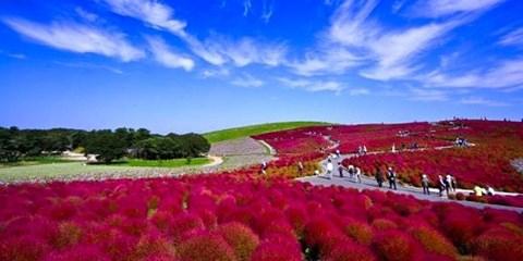 $2,480 -- 東京出發一日遊,常陸海濱公園看掃帚草、採葡萄吃到飽