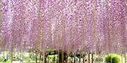 ¥475 -- 8折!春暖花开 紫藤花隧道+粉蝶花海+奥特莱斯扫货 东京出发一日游