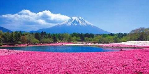 $2,133 -- 東京出發、富士山賞 80 萬株粉紅芝櫻花海,草莓吃到飽