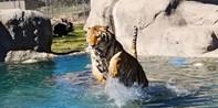 Feed Big Cats & Bears at Wildlife Sanctuary, Reg. $130
