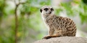 £14 -- Bridlington Animal Park: Meerkat Experience, 53% Off
