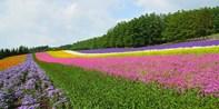 ¥399 --【札幌出发】北海道富良野薰衣草+美瑛青池+葡萄酒厂一日游 哈密瓜任吃