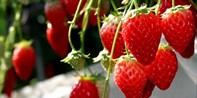 ¥525起 -- 栃木县摘草莓+赏季节花卉+佐野奥莱一日游 享日式牛肉火锅 新宿出发