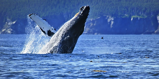 $39 & up -- Humpback Whale-Watching Tour at Sunset, 50% Off