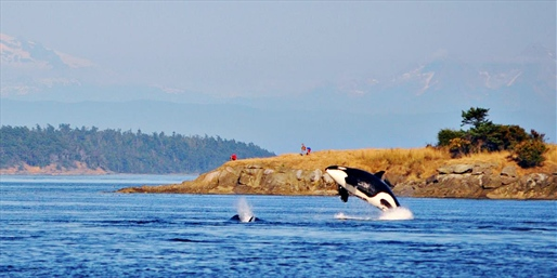 $55 -- Whale-Watching Cruise off the San Juans, Save 50%