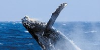 ¥255 -- 亲子佳选 冲绳出海赏鲸半日游 解说员+水下听音等 那霸出发 旺季不加价