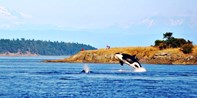 $55 & up -- Orca Whale-Watching Cruise: Day or Sunset