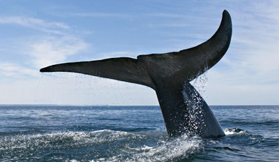 $15 - Whale-Watching Trip in Newport Beach, Reg. $36