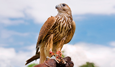 £29 -- 3-Hour Falconry Experience w/Lunch, Reg £79