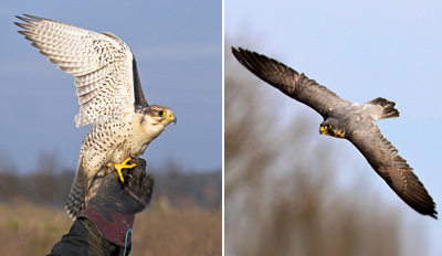 £19 -- 3-Hour Birds of Prey Experience inc Handling, Reg £39