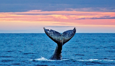 $22 -- Gray Whale Watching Trip from Mission Bay, 50% Off