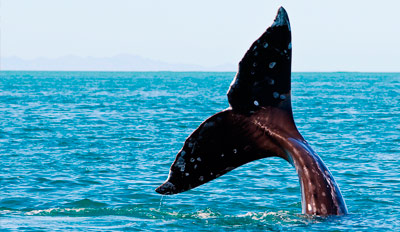$22 - Gray Whale-Watching Cruise off San Diego Coast