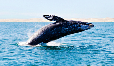 $22 - Blue Whale-Watching Cruise off San Diego Coast