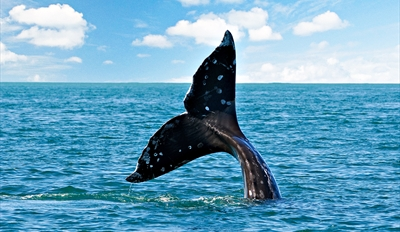 $35 -- Gray Whale Watching Trip in Peak Season, Reg. $79