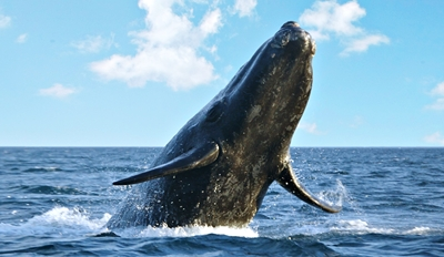 $25 - Monterey Bay: Gray Whale Watching in Peak Season